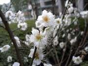 日本橋 室町 梅の花 写真