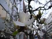 日本橋 本町 江戸通り コブシ開花 写真
