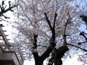 日本橋本石町 常磐小学校 桜