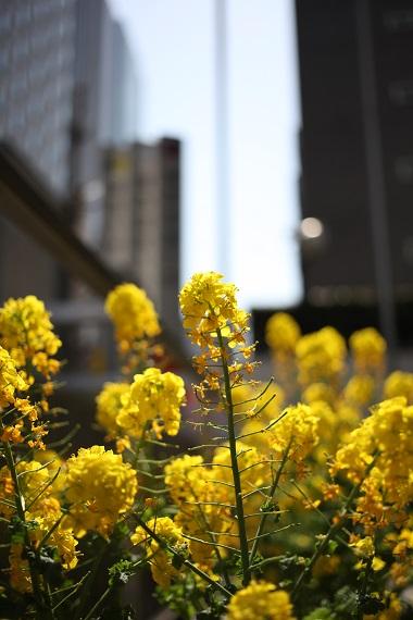 紀尾井町の菜の花
