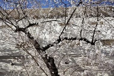 永田町校舎の桜