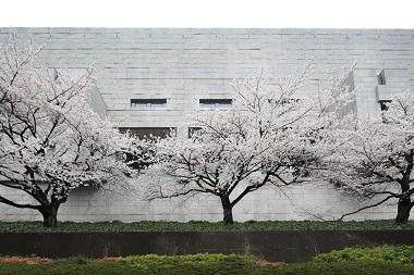 最高裁の桜